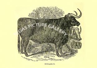 Old Shropshire Ox